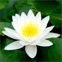 LOTUS ABSOLUTE, WHITE,3% IN IPM